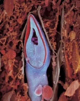 entrada do espermatezoide