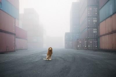 Cão leão1