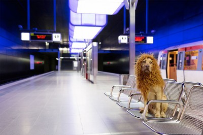 Cão leão8
