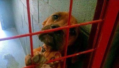 cachorro-chorando