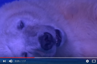 the-tragic-bear-that-suffers-for-selfies-youtube