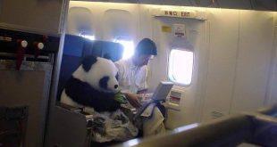 panda-viaja-em-aviao
